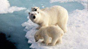 polar bears climate change