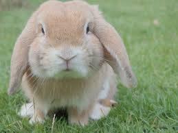 A light brown bunny.
