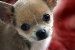 A brown and white puppy looks at the camera.