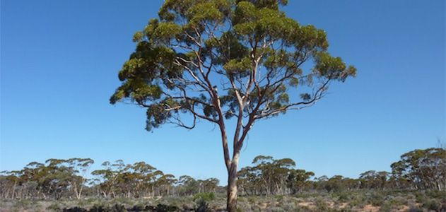Image of Eucalyptus Tree