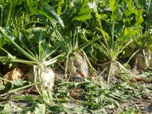 Modified sugar beets grow in a field.