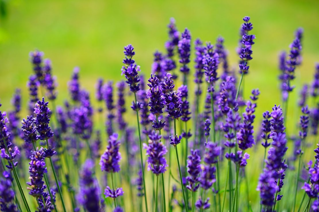 Lavender plant flowers in a field