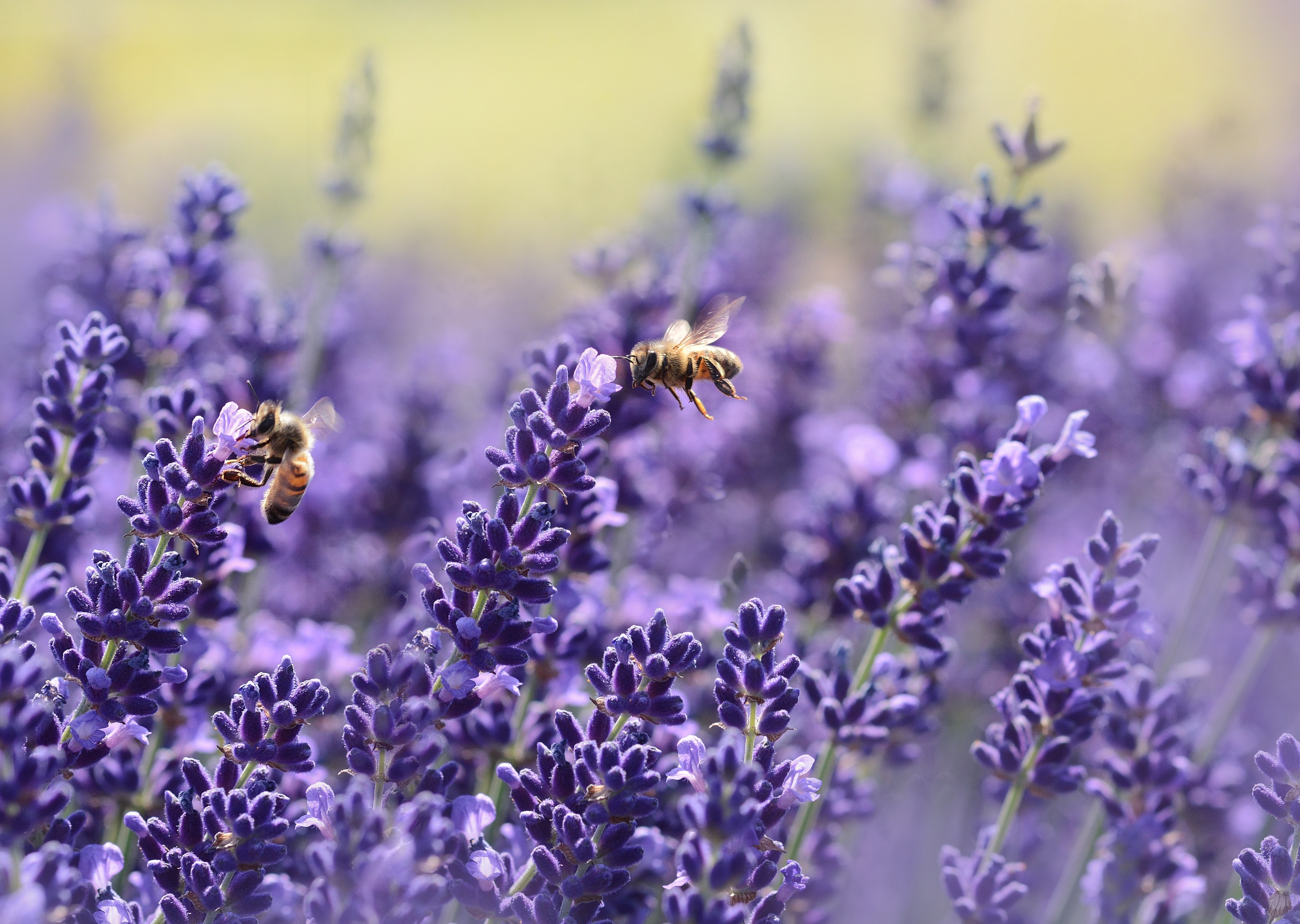 Field of lavender flowers pollinated by bees.