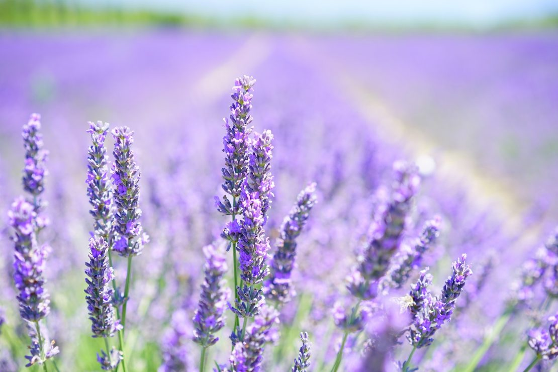 Field of lavender blossoms.