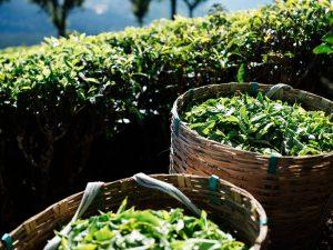 Honest Tea Organic Tea Leaves