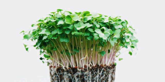 Alfafa sprouts