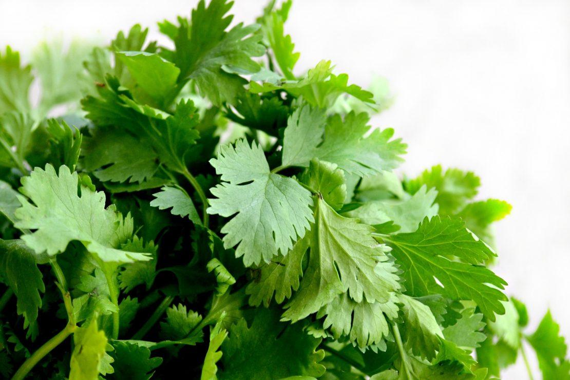 Fresh cilantro leaves