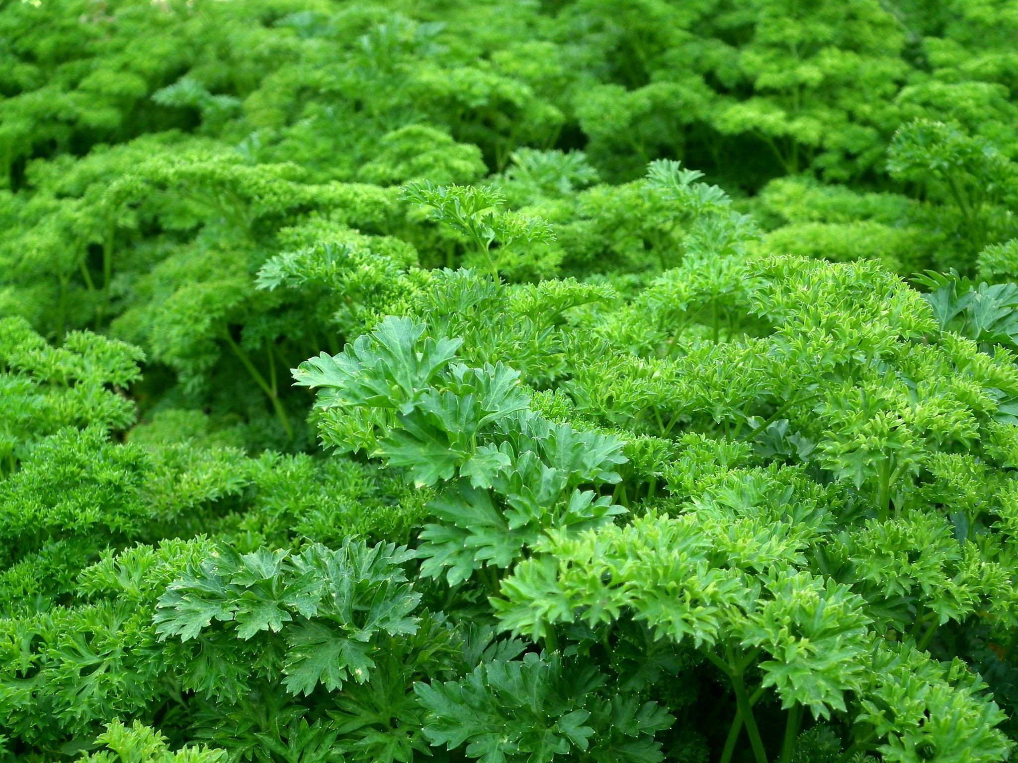 Parsley plants